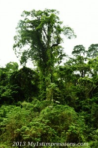 Trees of the jungle