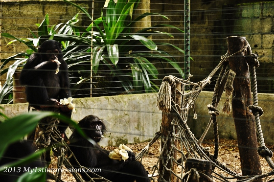 Another great shot of Calabar chimpanzees