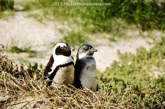 Beauties of Africa: the African penguins