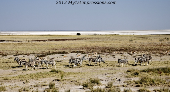 Zebras, lots of zebras