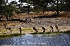 Springboks drinking form a waterhole