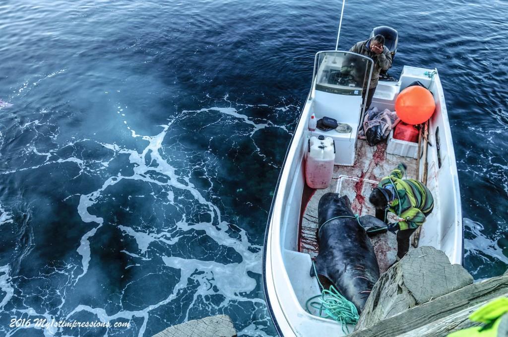 Pilot whales, Greenland, whales in greenland, whale hunting